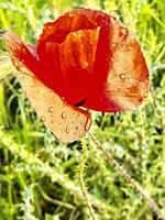 Dew drops on a papaver rhoeas L.