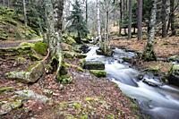 Stream, pines, moss and birchs in Sierra de Guadarrama. Madrid. Spain. Europe.