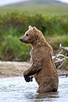 Alaska , Katmai National Park and Preserve , Grizzly bear ( Ursus arctos horribilis ) , order : carnivora ,family : ursidae ,.