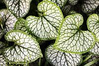 Heart-shaped leaves of Brunnera macrophylla or Siberian Bugloss - Asheville, North Carolina, USA.