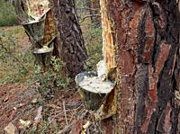 Rodeno pine (pinus pinaster) forest in Talayuelas, exploited to extract resin from them, Talayuelas, Cuencia mountain range, Castile-la-Mancha.