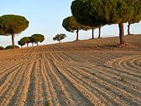 Group of pine tree (pinus pinea) between ceral lands in Villafáfila nature reserve, Zamora, Castile and Leon, Spain.