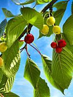 cherries in a cherry tree near Lauzun, Lot-et-Garonne Department, Nouvelle Aquitaine, France.
