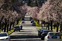 Cherry trees in bloom in spring in Vancouver, BC, Canada.
