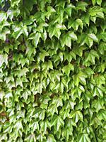 Boston ivy. Parthenocissus tricuspidata.