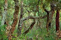 Cork oak forest in the Mosquera ravine. Sierra Espadán natural park. Castellón.