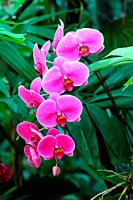 Orchid Flower in the garden, borneo, asia