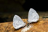 Two Azure Butterflies (Celastrina Sp. ) feeding on bird droppings - Pisgah National Forest, Brevard, North Carolina, USA.