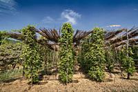 peppercorn trees growing in organic natural pepper farm kampot cambodia.