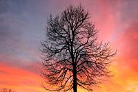 Ash tree at nightfall, Navalafuente, Madrid, Spain.