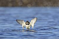 Common ringed plover (Charadrius hiaticula) in breeding plumage with open wings bathing in shallow water of mudflat in spring