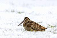 Eurasian woodcock (Scolopax rusticola) resting in snow covered meadow in winter