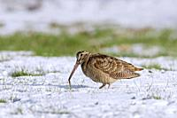 Eurasian woodcock (Scolopax rusticola) eating worm in snow covered meadow in winter