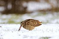 Eurasian woodcock (Scolopax rusticola) foraging in snow covered meadow in winter