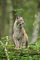 European Lynx; Lynx lynx.