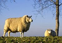 Standing and resting sheep on a dike along the river Nieuwe Merwede near the Dutch town Dordrecht.