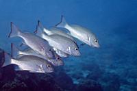 Mahagony snappers in de Caribbean sea around Bonaire.