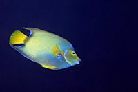 Queen angelfish in the Caribbean sea around Bonaire.