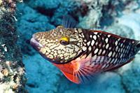 Parrotfish in the Caribbean sea around Bonaire.