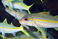Yello goatfishes in the Caribbean sea around Bonaire. Mulloidichthys martinicus.