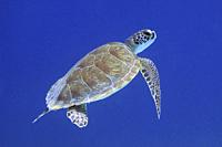 Turtle in the Caribbean sea around Bonaire. Hawksbill. Eretmochelys imbricata.