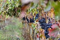 Autumnal vines near Cubillo de Ebro, Valderredible, Cantabria, Spain.
