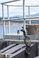 A Pelagic cormorant (Phalacrocorax pelagicus), also known as Baird's cormorant, with nesting material on the pylons at the Washington State Ferry dock...