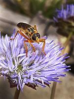 Insect on a centaurea jacea L.