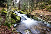 Stream, pines, birchs and moss in Sierra de Guadarrama. Madrid. Spain. Europe.