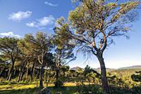 Coniferus in the Piquillo pinewood. Cadalso de los Vidrios. Madrid. Spain. Europe.