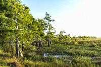 Dwarf Cypress. River of Grass. The Everglades. Florida. USA. (Testing the Pentax 31mm f/1,8 Limited).