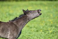 Horse, foal neighs on pasture.