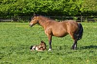 Horse, mare with foal on pasture in spring.