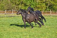 Horse, stallion chases mare across the pasture in spring.