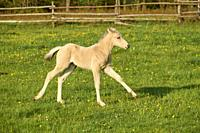 Horse, foal running on pasture in spring.