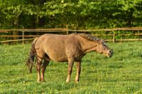 Horse, mare on pasture in spring.