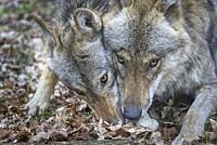 Wolf, Canis lupus, portrait.