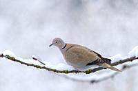 Europe, France, Alsace, Obernai, Turkish Dove (Streptopelia decaocto), posed in a cherry tree in winter with snow