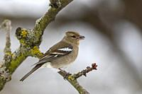 Europe, France, Alsace, Obernai, Chaffinch (Fringilla coelebs), Female posed in a cherry tree in winter with snow, eating a sunflower seed
