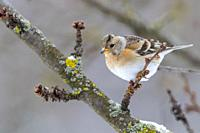 Europe, France, Alsace, Obernai, Northern chaffinch (Fringilla montifringilla), adult female posed in a cherry tree in winter with snow