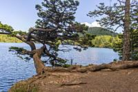 A Douglas fir tree shaped by the wind leaning over the shore of Cascade Lake in Moran State Park on Orcas Island, San Juan Islands in Washington State...