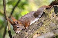 France, Grand Est Region, Bas Rhin (67), Strasbourg, garden, Red Squirrel (Sciurus vulgaris), on a tree near a feeding station.