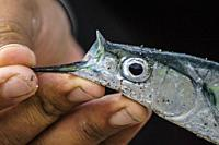 Local catch. Fisherman showing recently caught fish. Taiohae Bay, Nuku Hiva, Marquesas Islands, French Polynesia.