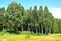 Silver birch (Betula pendula) is a deciduous tree native to central Europe and Asia. This photo was taken in Bohuslan, Sweden.
