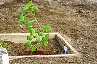 Currant seedling in a wooden flower bed on the background of weeded earth.