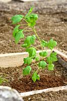 Freshly planted currant seedling in a wooden flower bed.