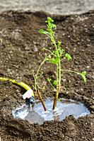 Watering a freshly planted currant seedling on the background of the weeded earth.