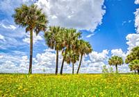 Summer day with blue sky and white clouds in Myakka River State Park in Sarasota Florida USA.
