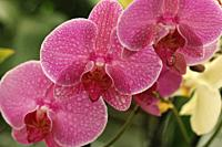 Orchid phalaenopsis with droplets.