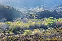 Fresh spring greenery along Sycamore Creek, Arizona Trail, Arizona, U. S. A.